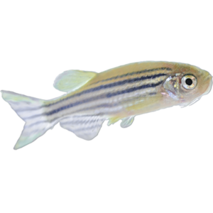 Zebrafish-AB-Male