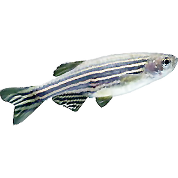Zebrafish-AB-female