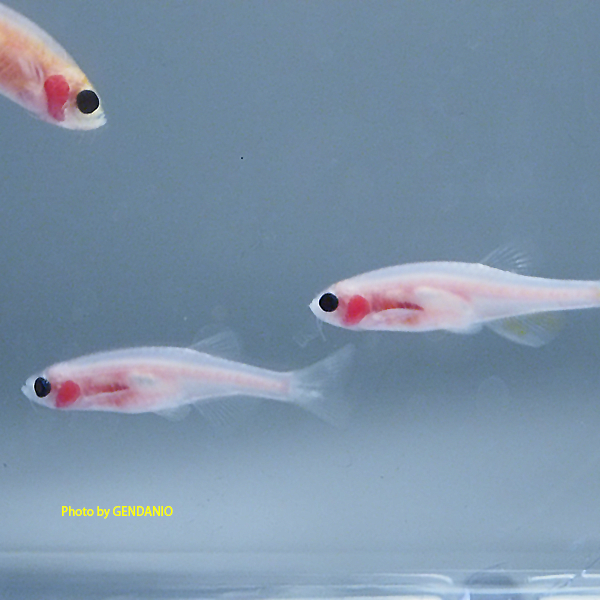 ZF-zebrafish-casper-transparent-mutant